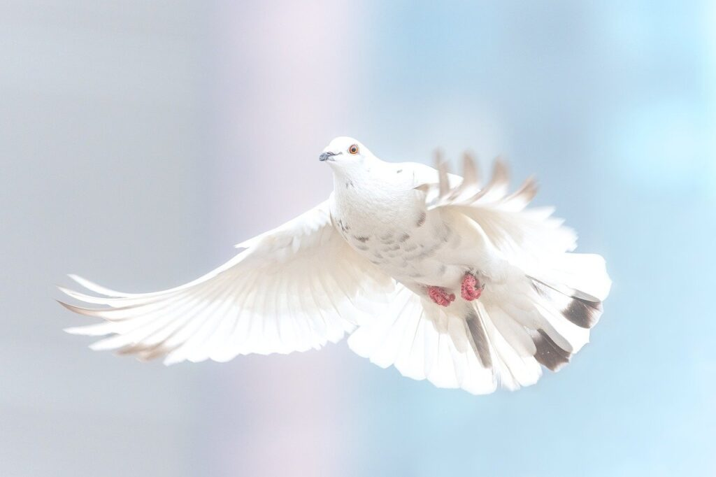dove, freedom, bird